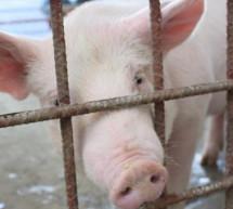 Guatemala en alerta para evitar ingreso de la Peste Porcina Africana